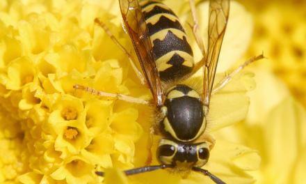 Mit der Hitze kommen die Wespen – Tipps