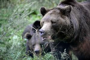 Bear Transfer to BWM 2012
