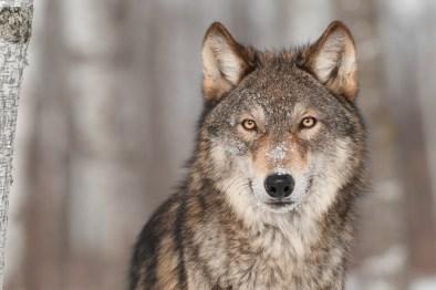 Grey Wolf (Canis lupus) Portrait