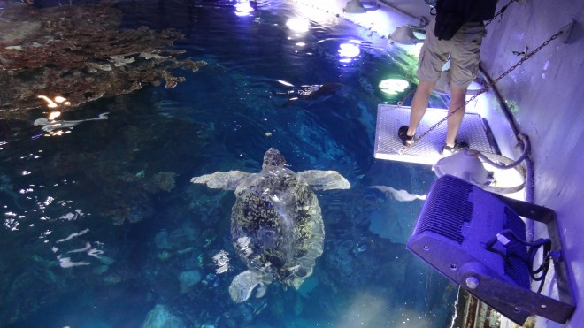 Myrtle, the green sea turtle, is fed at the New England Aquarium.