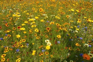 The British Garden, a wild flower meadow surrounding the stadium