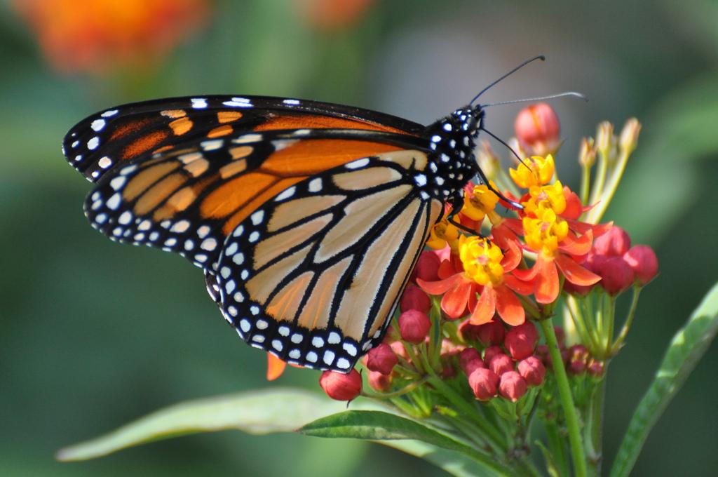 Zilker Botanical Garden: Monarch, Milkweed And You!