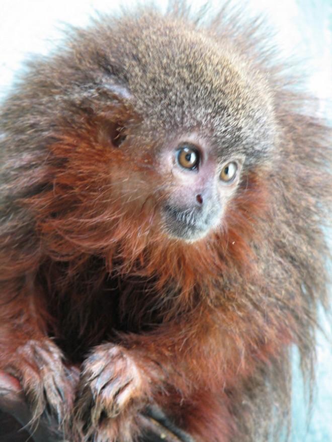 Caqueta titi monkey