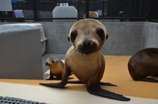 sea lion cubs
