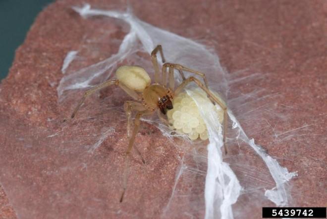 Yellow Sac Spider w/nest