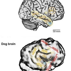 Sheep Brain Diagram Biology Corner Shear And Moment Problems Solutions Scans Show Striking Similarities Between Dogs Humans Wired Anatomy Of A Human Above Dog With Areas Linked To Vocal