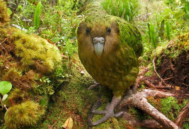 Hello kakapo !