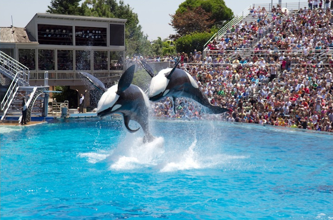 Orcas performing at SeaWorld San Diego. Image: z2amiller/Flickr
