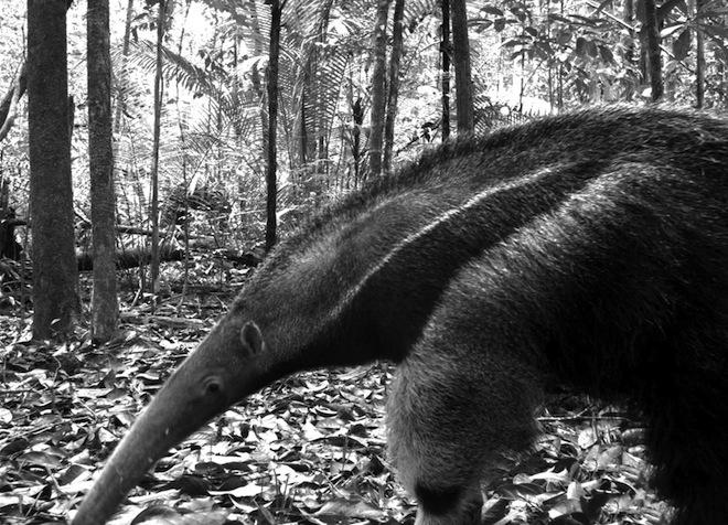 Giant anteater Vulnerable. Manaus, Brazil. [High resolution]