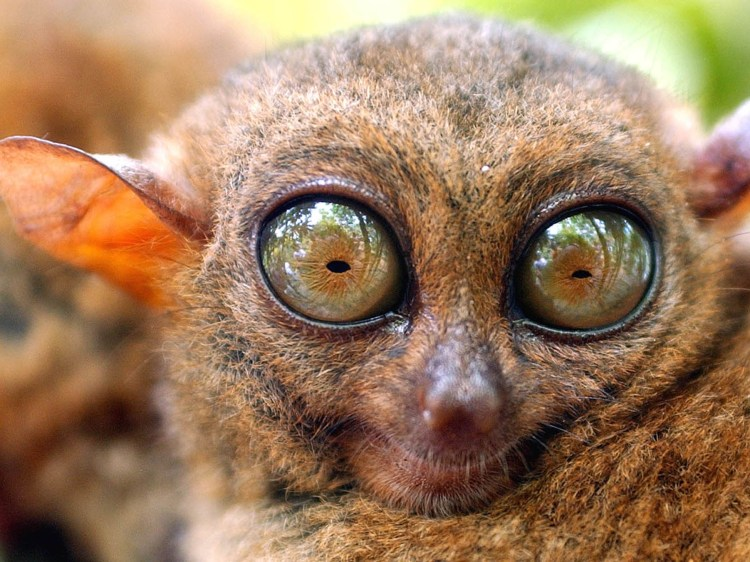 Image result for bug-eyed tarsier