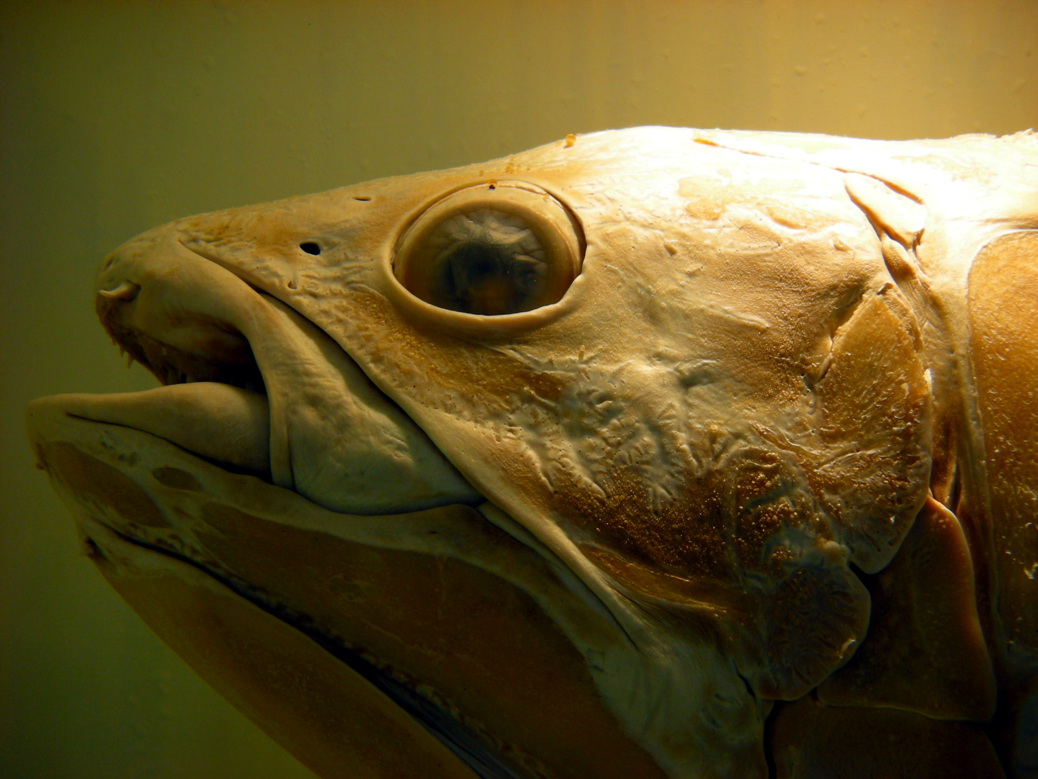 The Creature Feature 10 Fun Facts About The Coelacanth