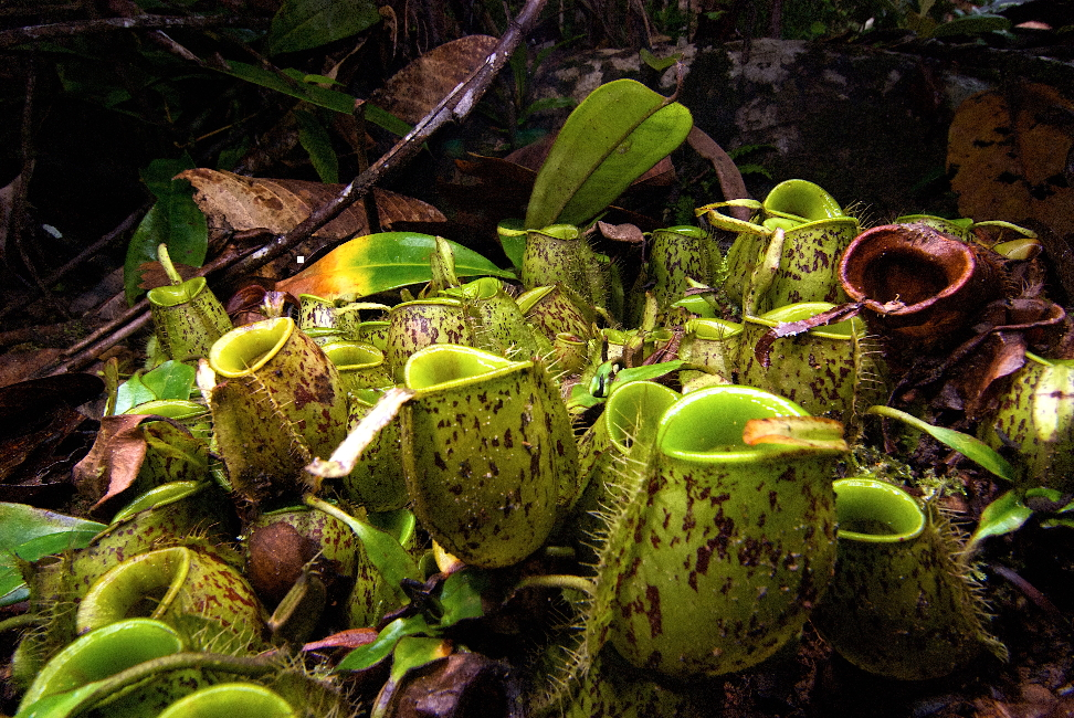 Micro Frog Discovered Inside Bornean Pitcher Plants  WIRED