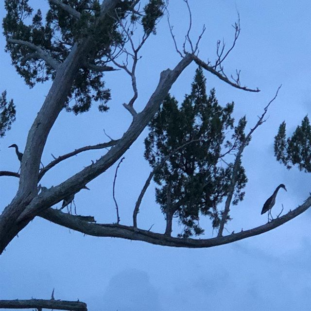 Three herons in a tree.