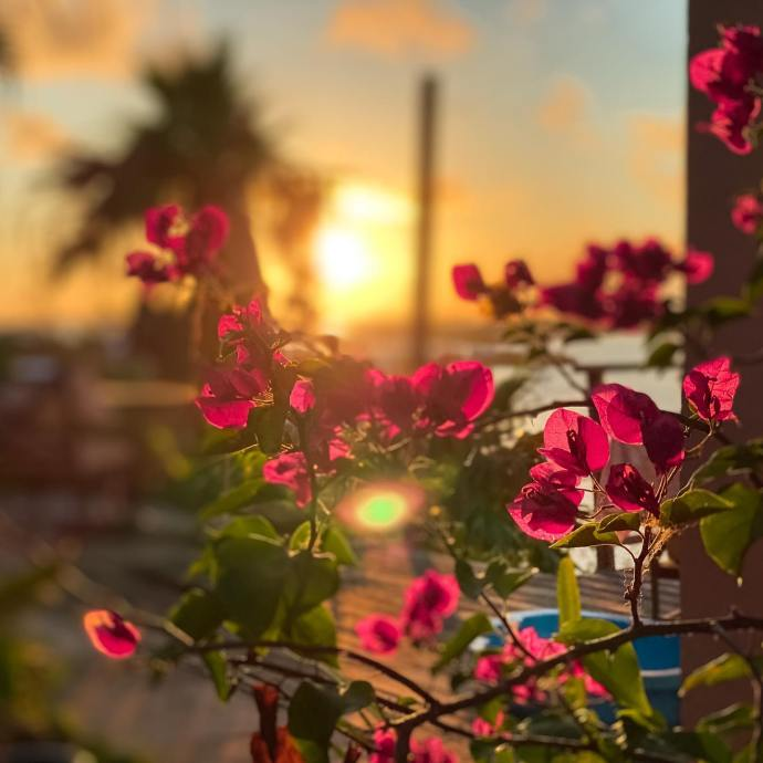 Beautiful bougainvillea as the sun sets behind.