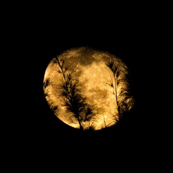 A spooky looking moon through the casuarina trees.