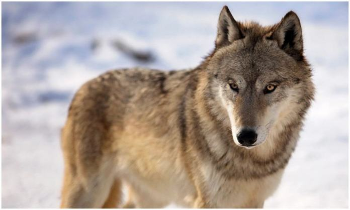 Wisconsin's Wolf Hunt: Half of Harvest Quota Filled In One Day