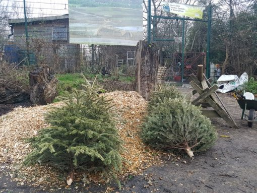 Christmas Tree to be recycled as mulch
