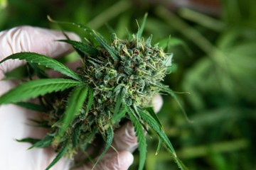 cannabis extracts may inhibit cancer cell growth.
