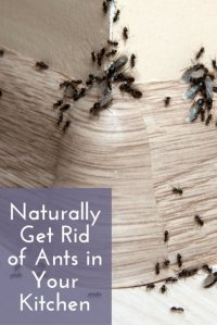 Naturally Get Rid of Ants in Your Kitchen