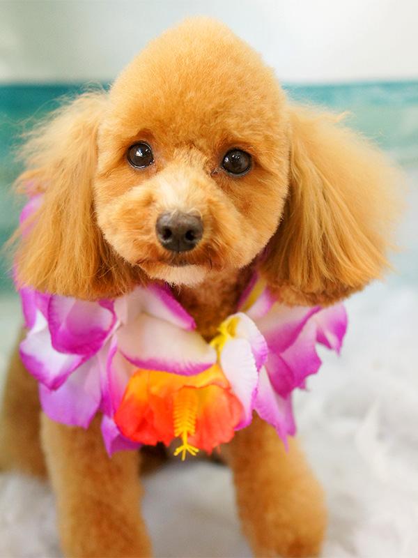 人気犬種 トリミング・シャンプー 料金(税別) トイプードル モヒカン