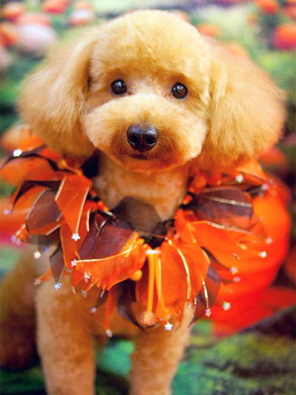 人気犬種 トリミング・シャンプー 料金(税別) トイプードル テディベア