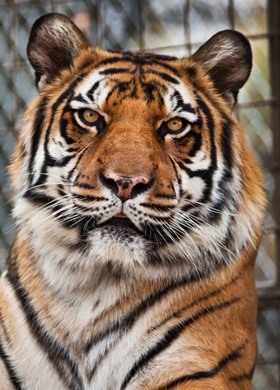 Indiana tiger_765232