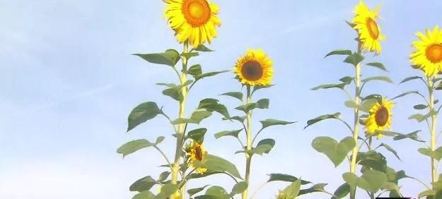 Sunflower_1535723972870.JPG
