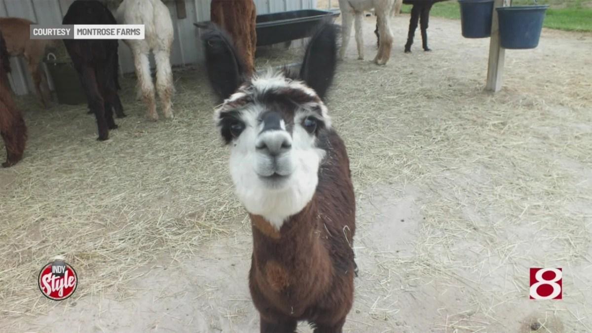 Local farmer finds success raising alpacas