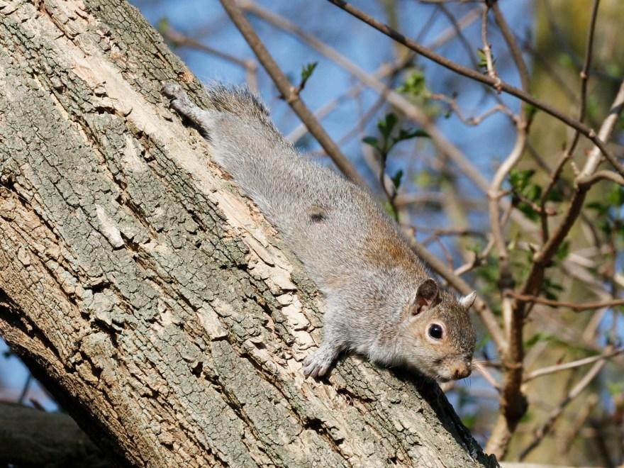 Grauhörnchen: Die Invasion neuer Arten