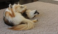 My Dog Hilariously Loves This Pet-Friendly Carpet {+Mohawk ...