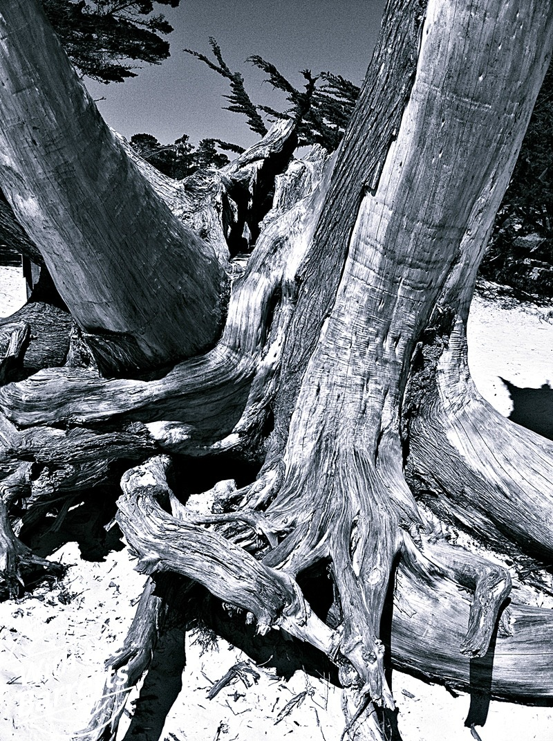 Twisted trees on the beach