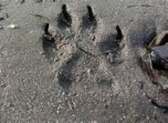 Coyote track wide