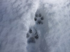 coyote track narrow