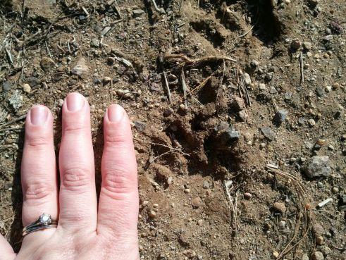 Raccoon track in mud.