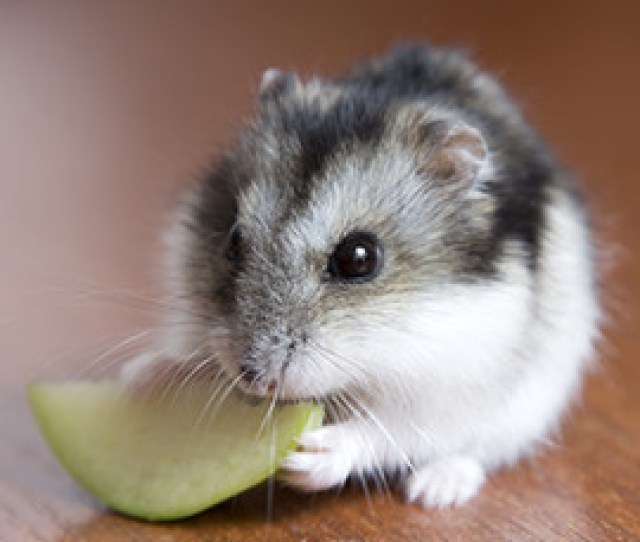 All Species Of Hamster Need Animal Proteins To Stay Healthy In Nature They Get These Proteins From Insects For Example But A Healthy Mix Also Includes