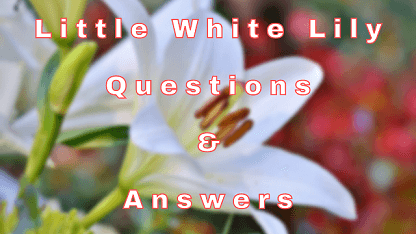 Little White Lily Questions & Answers