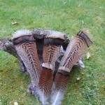 Wilde-kalkoen-veren-staart