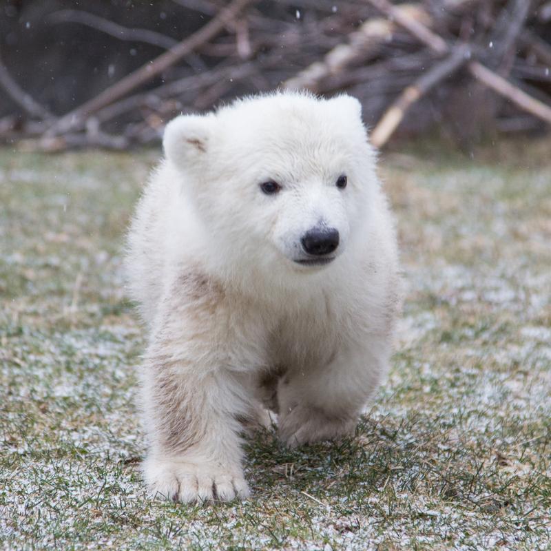Polar Bear Luna Outside_214885