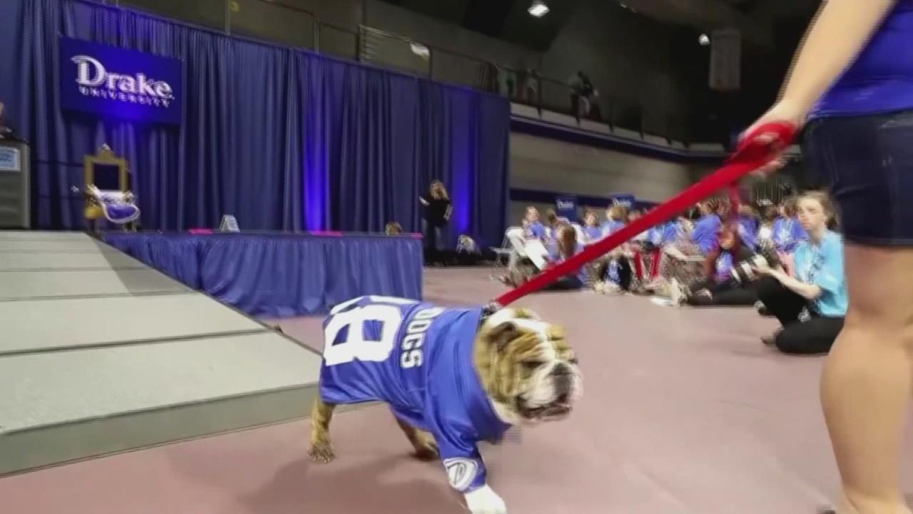 Bulldog contest