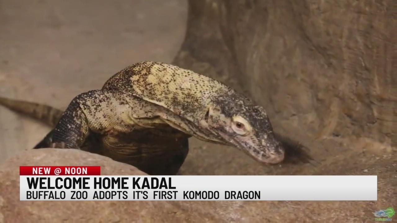 Buffalo Zoo welcomes komodo dragon