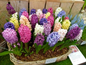 hyacinth-flower