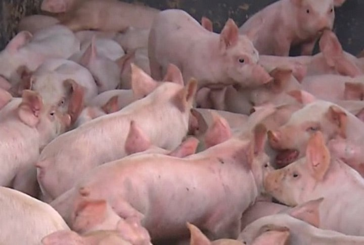 PHOTOS_ More Than 1,500 Piglets Rounded Up After Getting Loose After Crash (Image 1)_30152