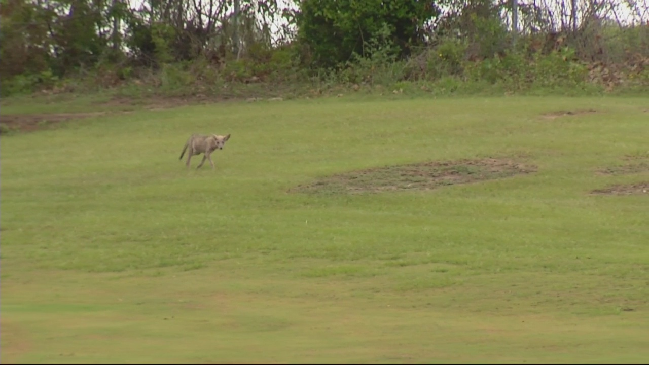 Coyotes create problems at Daniel Field and city golf course