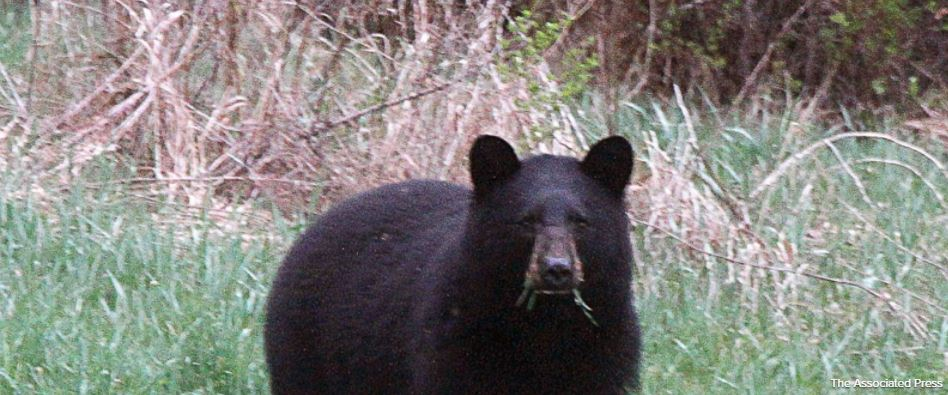 Bear pic associated press_285425