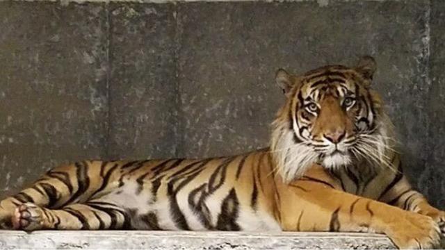 Tiger attack_1555797300088.jpg.jpg
