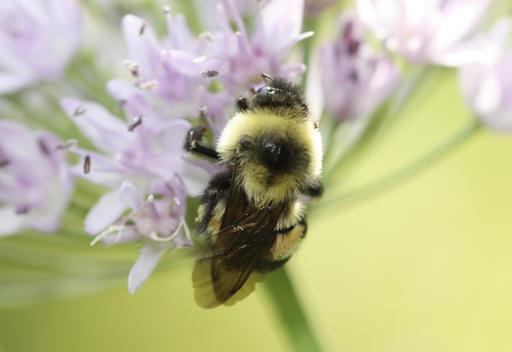 Endangered Bumblebee_258884