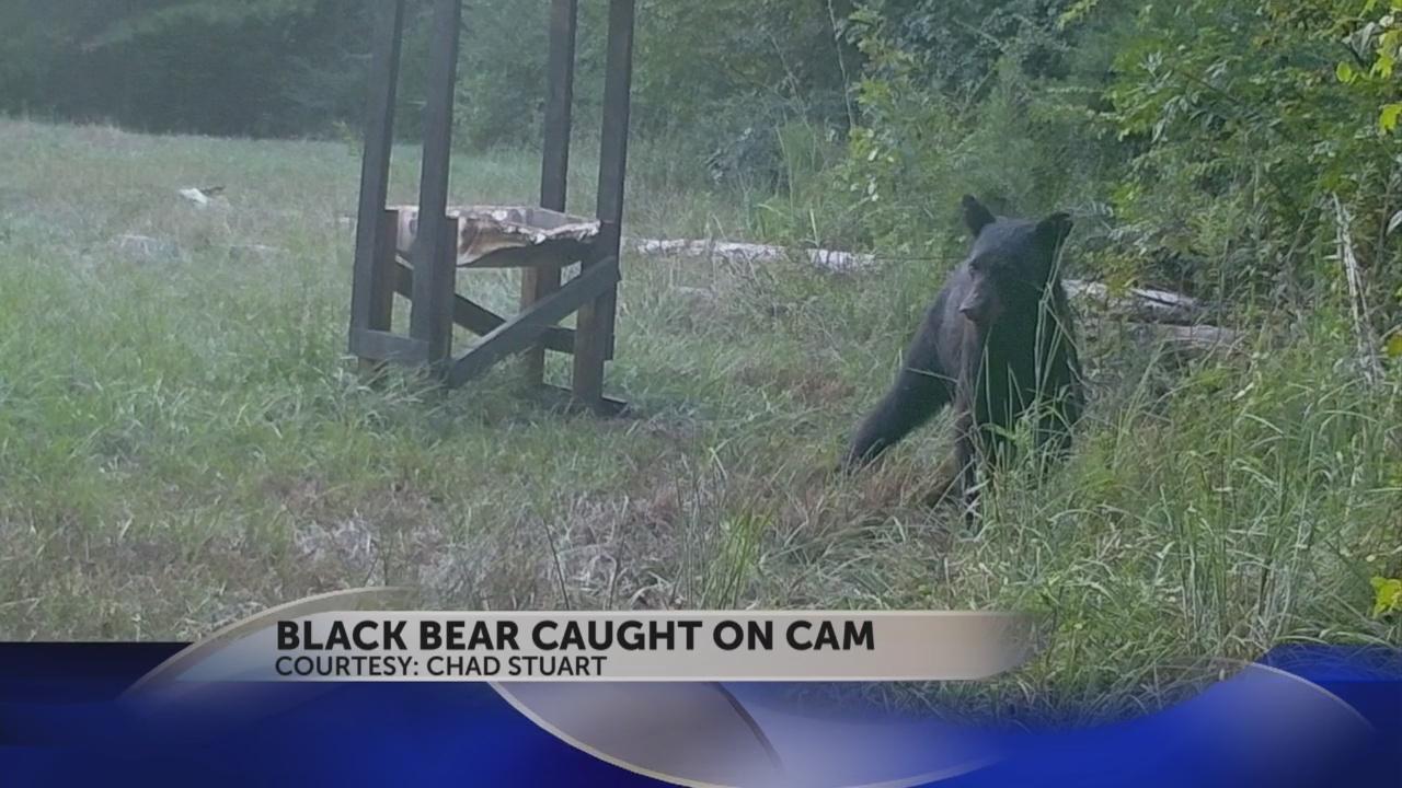 blacl bear on cam_43789