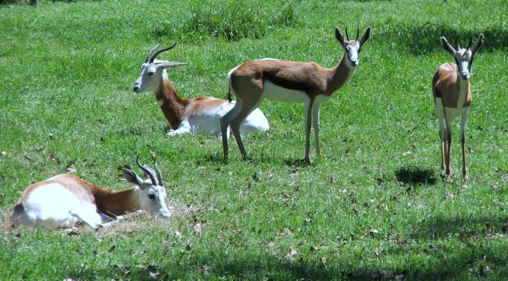 springboks with gazelles_113059