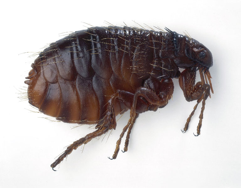 fleas in sofa no pets double bed ikea information on west kootenay animal hospital