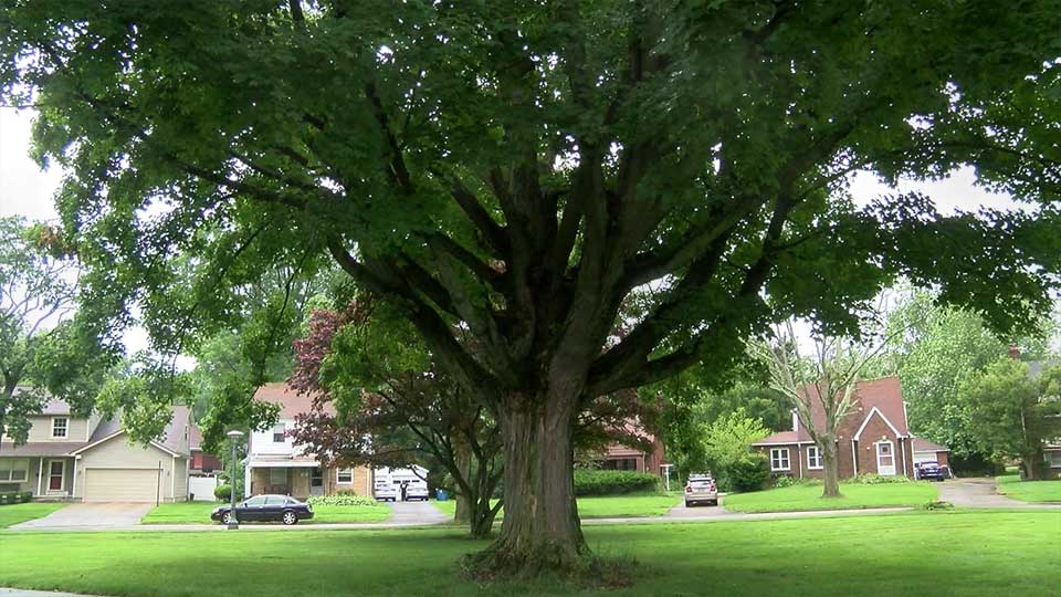 Large tree on property in Boardman, Ohio.